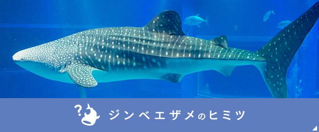 ジンベエザメの画像 p1_33