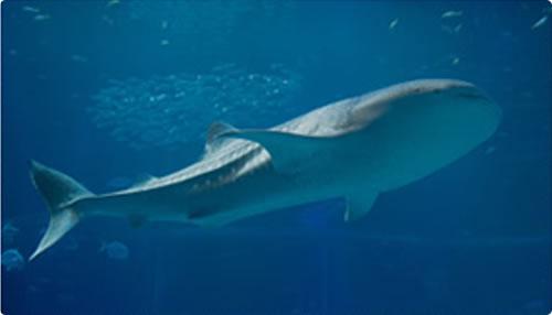 ジンベエザメのヒミツ展示館内紹介海遊館
