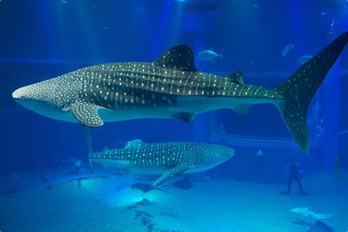 ジンベエザメのヒミツ 展示・館内紹介 海遊館