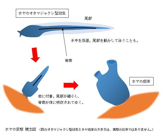 ホヤの変態概念図.JPG