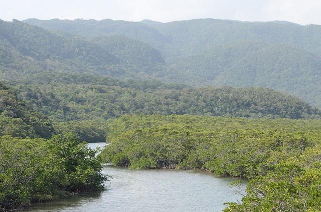 1503_iriomote_mangrove.jpg