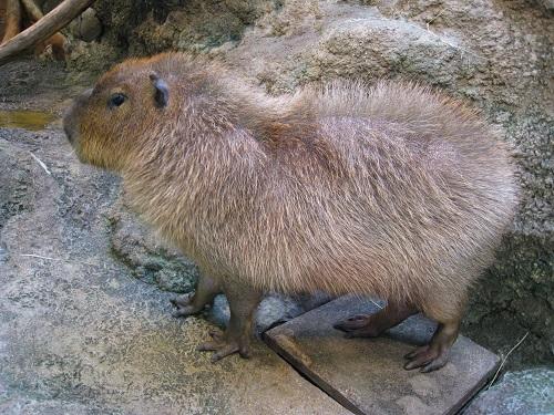 201504_capybara_2.jpg