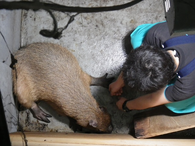 201506_capybara_1.jpg
