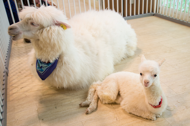 alpaca20150101.jpg