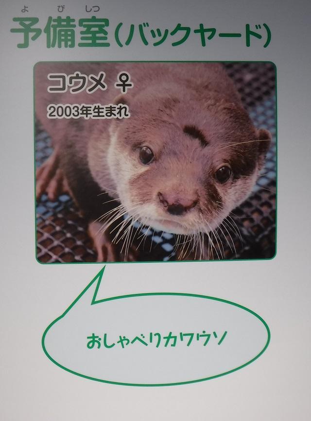 kawauso_otter_4.JPG