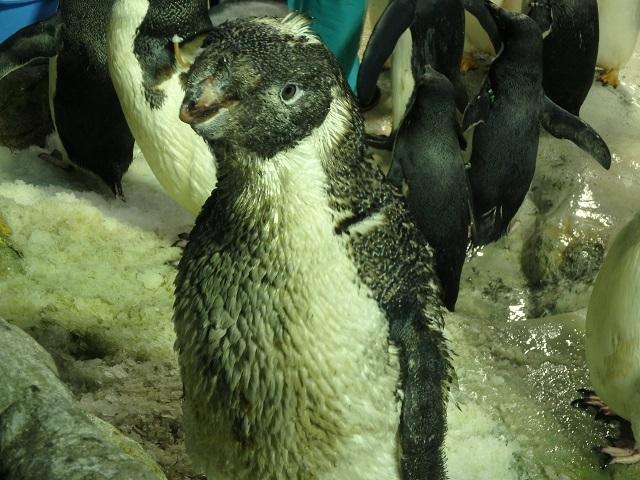 osyare_penguin_4.JPG