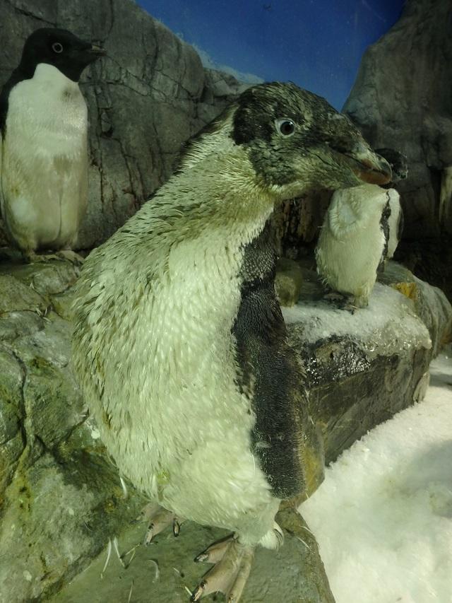 osyarenotame_penguin_5.JPG
