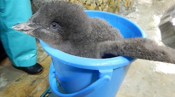 アデリーペンギンの画像 p1_28