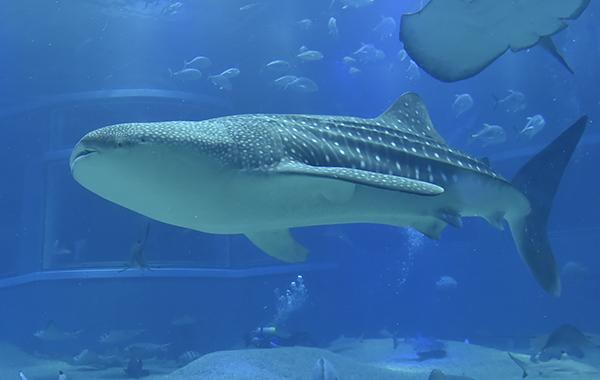 ジンベイザメの眠り
